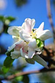 White apple blossom against a blue sky