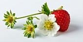 A wild strawberry with strawberry flowers