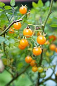 Yellow currant tomatoes