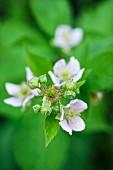 Blackberry blossom (close-up)