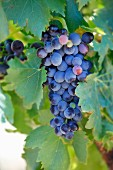 Black grapes on the vine