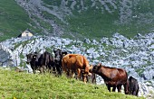 Angus cows in an Alpine meadow (Switzerland)