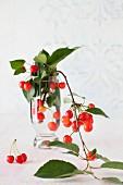 Sour Cherries Still on the Branch