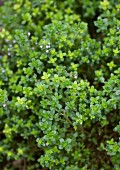 Thyme Growing Outdoors