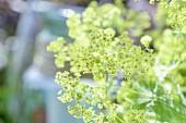 White-flowering garden plants in the sunlight