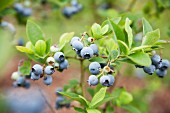 Wild blueberries on the bush