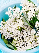 Elderflowers in a blue bowl