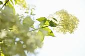 White flowering hydrangea