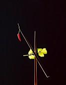 Essstäbchen mit Chilischote & Korianderblättchen vor schwarzem Hintergrund