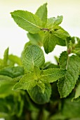 Fresh sprigs of mint (close-up)