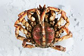 Alive Galician female spider crab