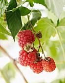 Fresh raspberries on the cane