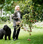 A woman picking apples, Sweden.