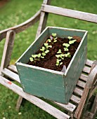 Seedlings in wooden box of soil on vintage garden chair