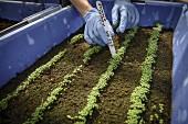 Worker labeling seedlings