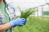 Worker holding fresh rosemary