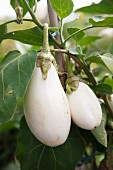 White aubergines on the plant