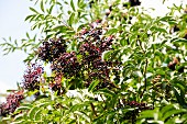 Elderberries on the bush
