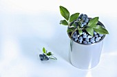 Blueberries with leaves in a metal pot
