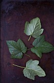 Black currant leaves