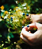 A hand picking a blueberry, close-up.