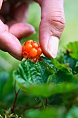 A hand picking cloudberry, Jamtland, Sweden, close-up.