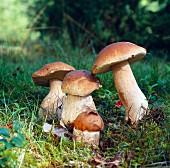 Four porcini mushrooms in woodland