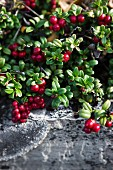 Cranberries on the bush by a stone wall