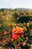 Cloudberries in a mug between bushes (Lapland)