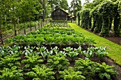 Cabbages growing in vegetable patch in front of wooden house