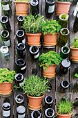 Assorted herbs in pots, and wine bottles on a wooden fence