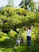 Man pruning apple tree with lopping shears in garden