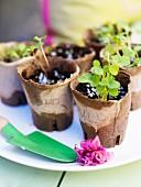 Seedlings in cardboard pots