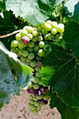 Vermentino grapes from Sardinia, on the bine