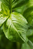 Closeup of fresh basil leaves with water droplets.