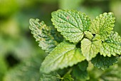 Lemon balm (Melissa officinalis) growing in garden
