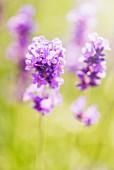 Lavender (Lavandula angustifolia) growing in garden