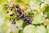 Blackcurrants (Ribes nigrum) growing in garden