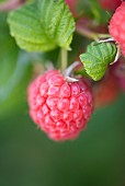 Closeup of raspberry growing in garden