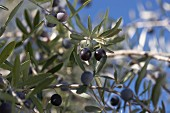 Olives on an olive branch (close-up)