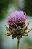 An artichoke flower in the garden