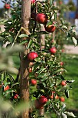 Espalier apple tree with red apples