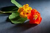 Two nasturtium flowers