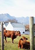 Calves in a field