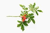 A sprig of fresh rosehips