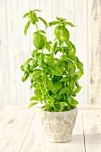 A basil plant in a flowerpot