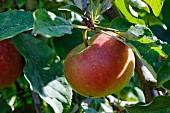 Elstar apples on the tree (close-up)