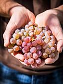 Hände halten Krakhuna Weintrauben aus Georgien, Kaukasus