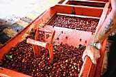 Coffee cherries being processed