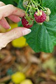 A woman's hand picking raspberries (close-up)